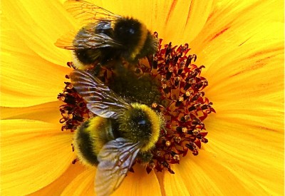 bees pollen