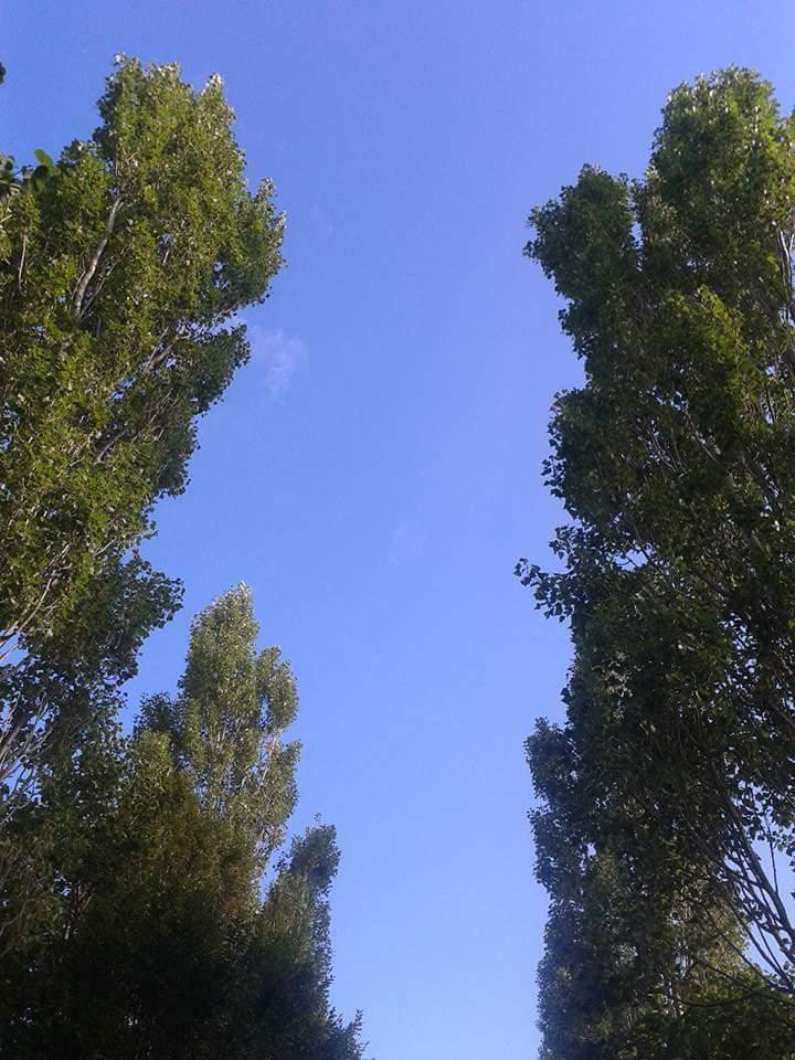 Blakes walk poplars
