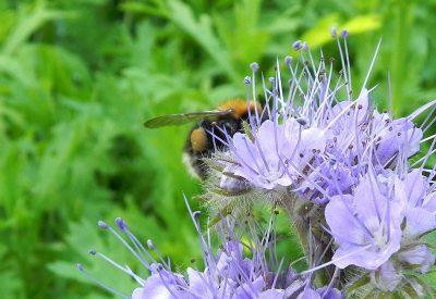Tree Bumblebee on a first year Phacelia 005 – 1-3