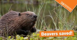beaver_ad
