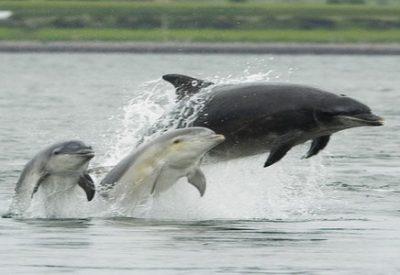 bottlenose-dolphins-at-chanonry-point