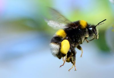 white_tailed_bumble-bee_-_bombus_lucorum