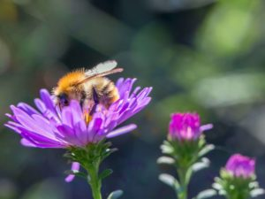Common carder bee on a purple flower