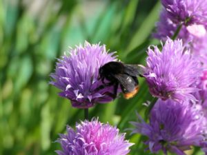 Red-tailed bumblebee (female) on a purple flower