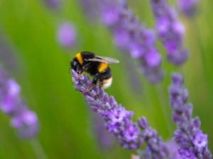 White-tailed bumblebee on a purple flower