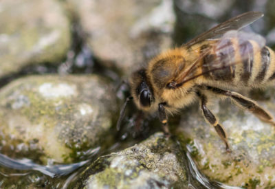 Image shows a honey bee drinking water from a bee bath